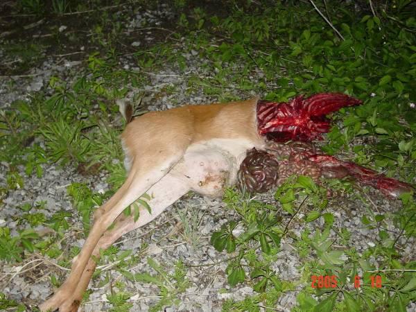 Pauvre bambi !!! DSC00035